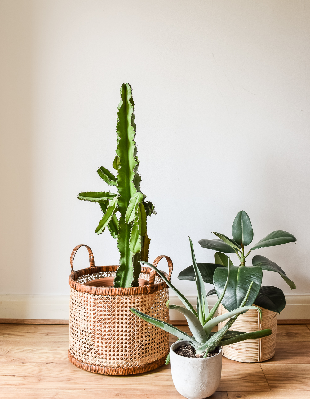 3 plants on floor. One large cactus, aloe vera, and succulent